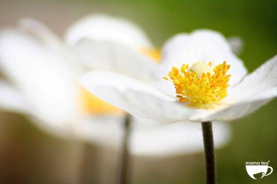 Rosy-Skin-jasmine-flowers | rooibos and rose petal tea | Mama Tea